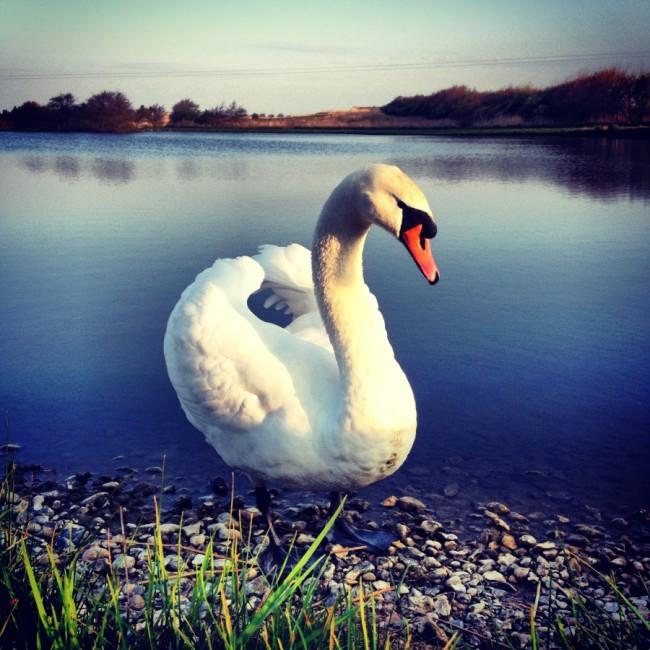 Swan by Joakim Lund