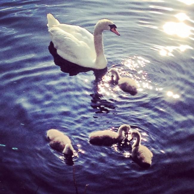 Swans by Joakim Lund