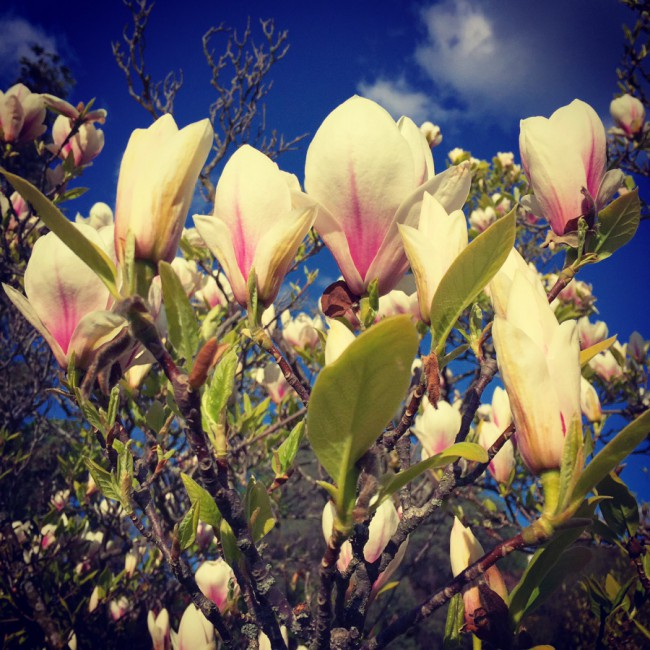 Magnolias I by Joakim Lund 2016