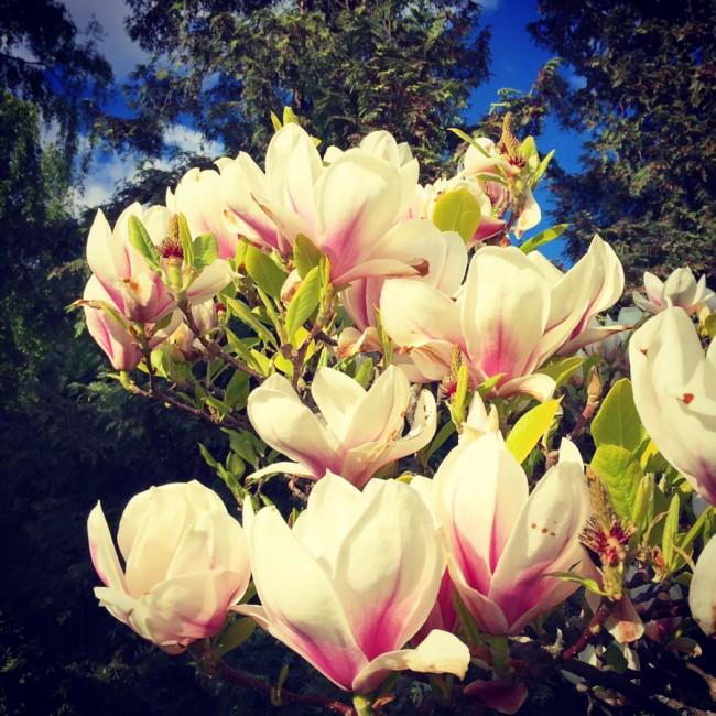 Magnolias III by Joakim Lund 2016