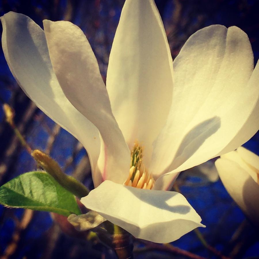 Magnolias I - Joakim Lund 2017