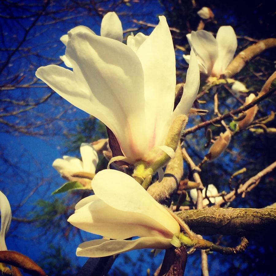 Magnolias III - Joakim Lund 2017
