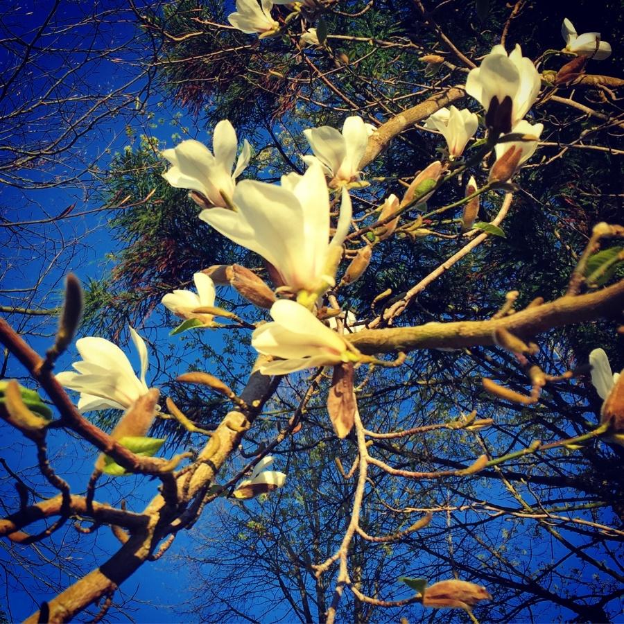 Magnolias V - Joakim Lund 2017